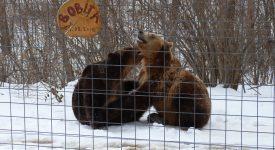 17. Ursi Jucandu Se La LiBearty