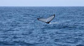 10 Sydney O Balena Ne Spune La Revedere