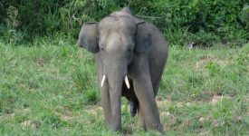 43. Elefant Asiatic Salbatic