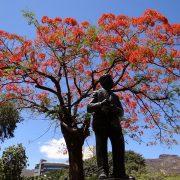 15. Copaci Infloriti In Port Louis Capitala Mauritius