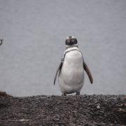 11. Pinguin Magelanic