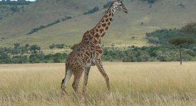 14. Girafa In Tanzania