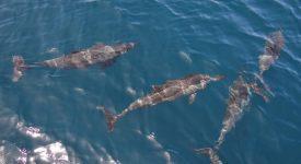 29. Grup De Delfini