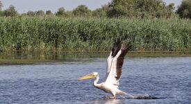 14. Pelican In Delta Dunarii