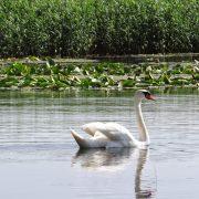 17. Lebadoi Delta Dunarii