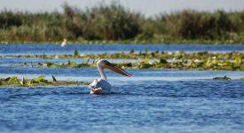 Pelican In Delta Dunarii