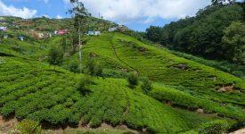 13. Plantatii De Ceai Sri Lanka