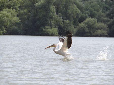 07. Pelican decoland
