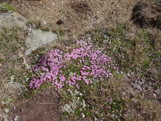 13. Flori ca in Patagonia