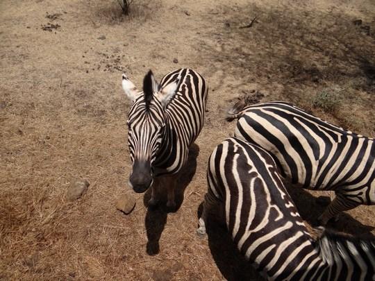 10. Zebre in Mauritius