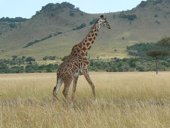 07. Girafa in Masai Mara