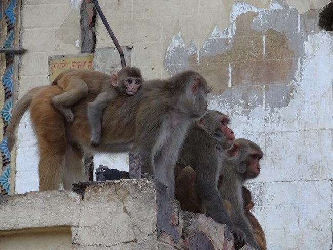24. Maimute la Kathmandu