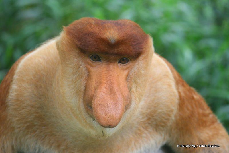 MurphyNg_proboscis monkey
