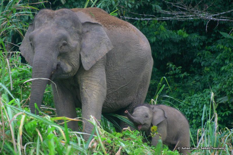 julianLee_pygmy elephants