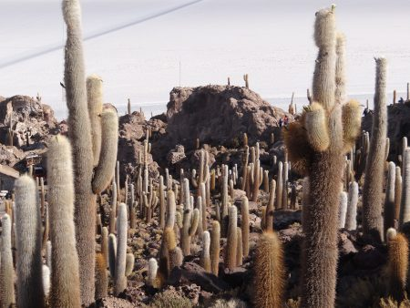 25. Cactusi