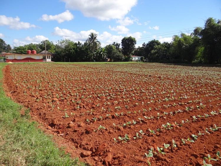 09. Plantatie tutun