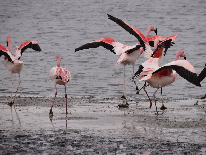 14. Flamingo in zbor