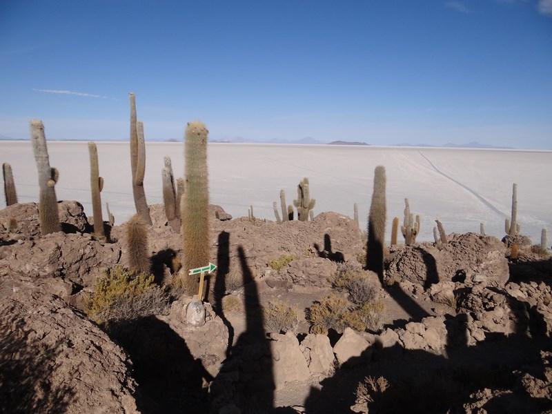 15. Multi cactusi