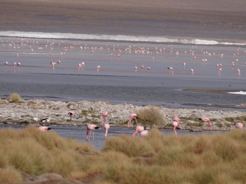 28. Flamingo Bolivia