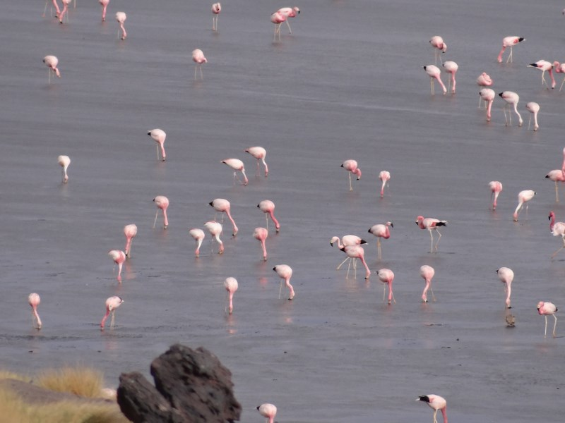 29. Laguna Colorada - flamingo