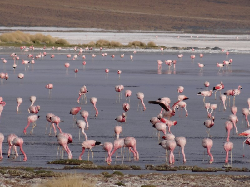 31. Flamingo - Laguna Colorada