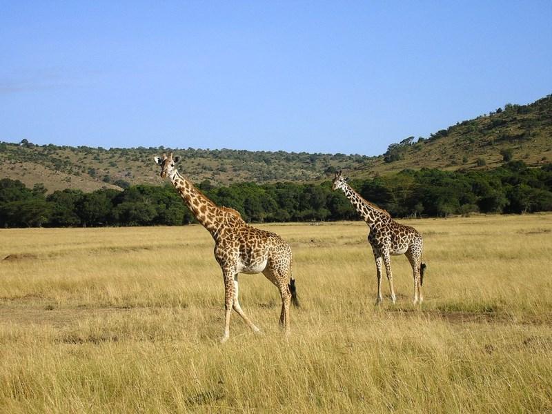 03. Girafe - Serengeti