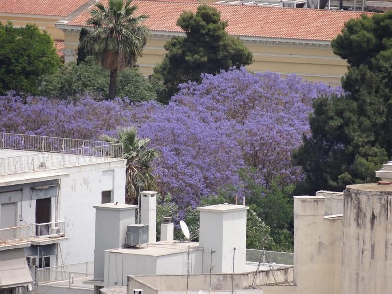 14. Flori albastre - Atena