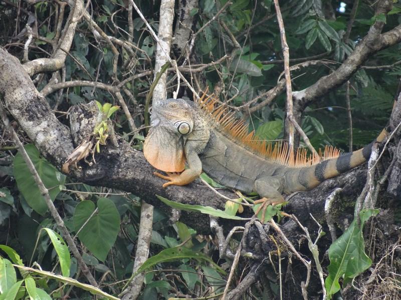 16. Iguana in copac