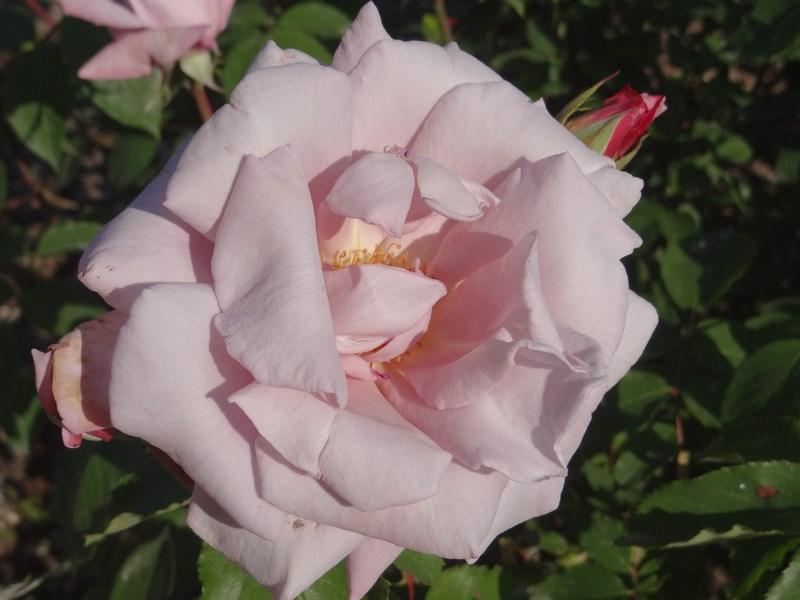 19. Trandafir Balcic