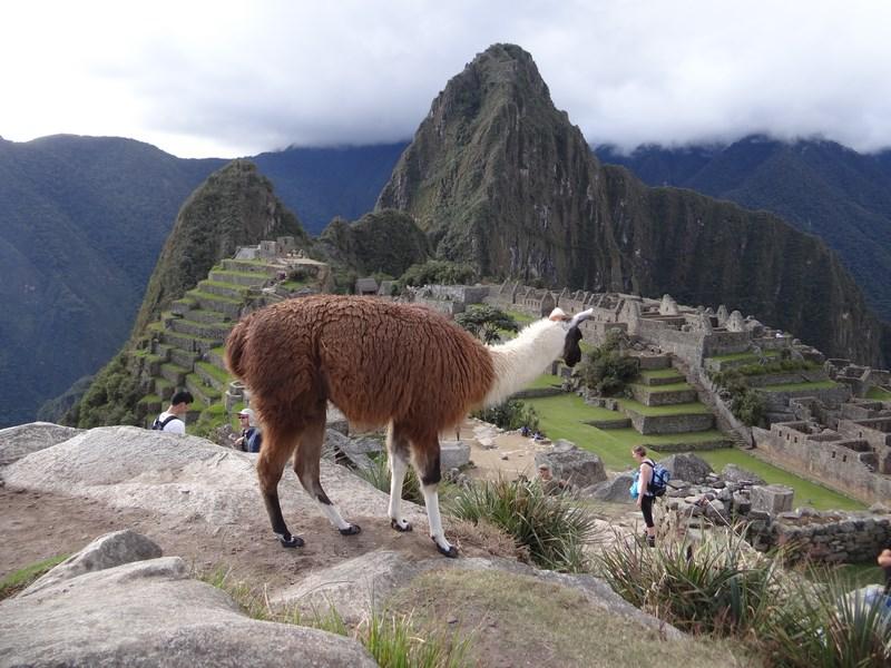 11. Lama la Machu Picchu