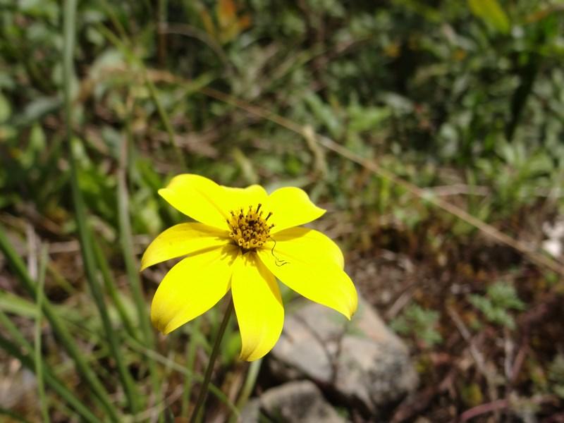 32. Floare galbena