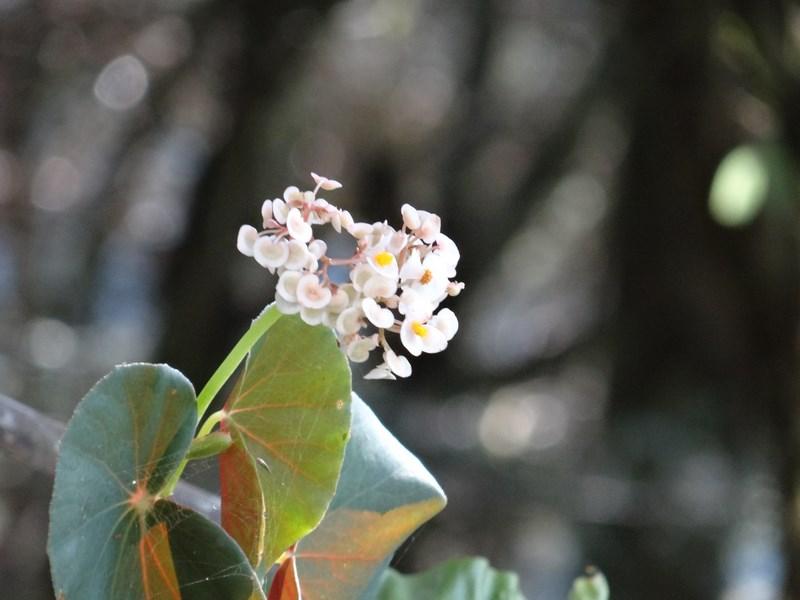 33. Orhidee Amazon