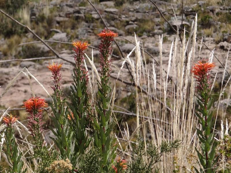 54. Flori Titicaca