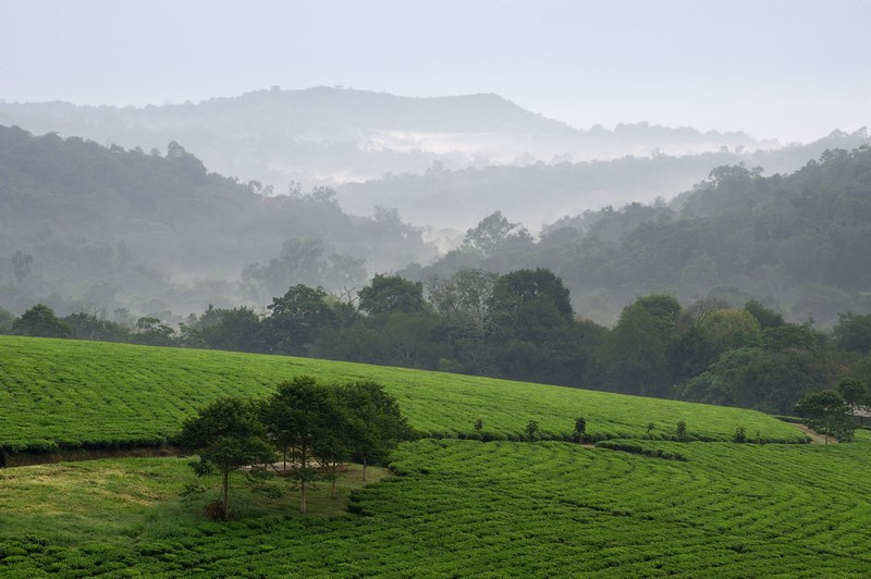 7978297 - gray morning fog over tea plantations bwindi. uganda.  africa.