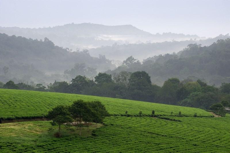 7978297 - gray morning fog over tea plantations bwindi. uganda. africa.