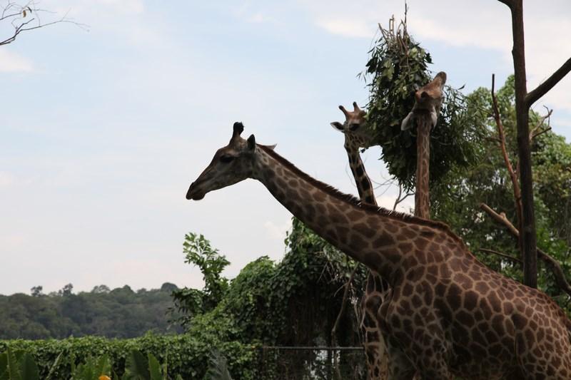 06-girafa