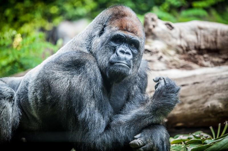 18982307 - silverback big male gorilla looking at camera