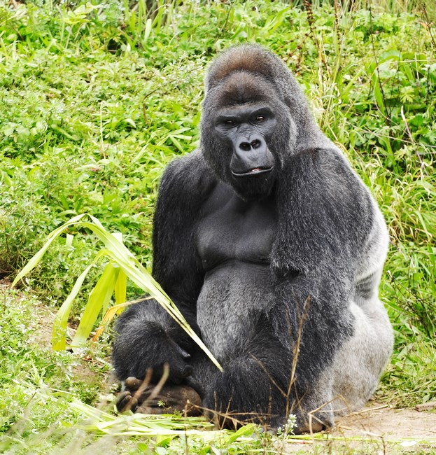 11582627 - a male silver back gorilla sitting holding a piece of vegetation