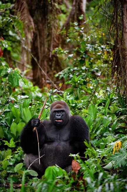 8095040 - portrait of male western lowland gorilla.the male of a gorilla poses in front of the camera. a native habitat