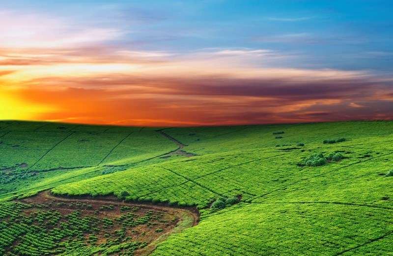 2706537 - tea plantation in uganda, colorful dawn