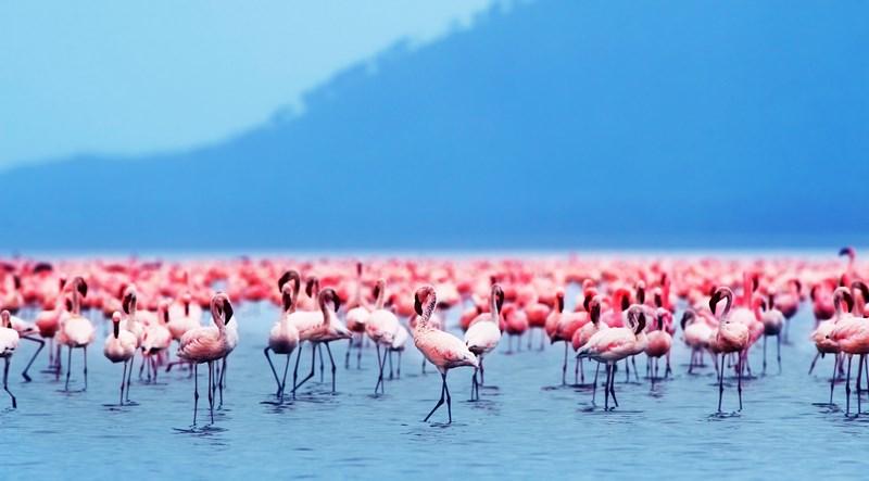 10730625 - flamingo birds in the lake nakuru, african safari, kenya