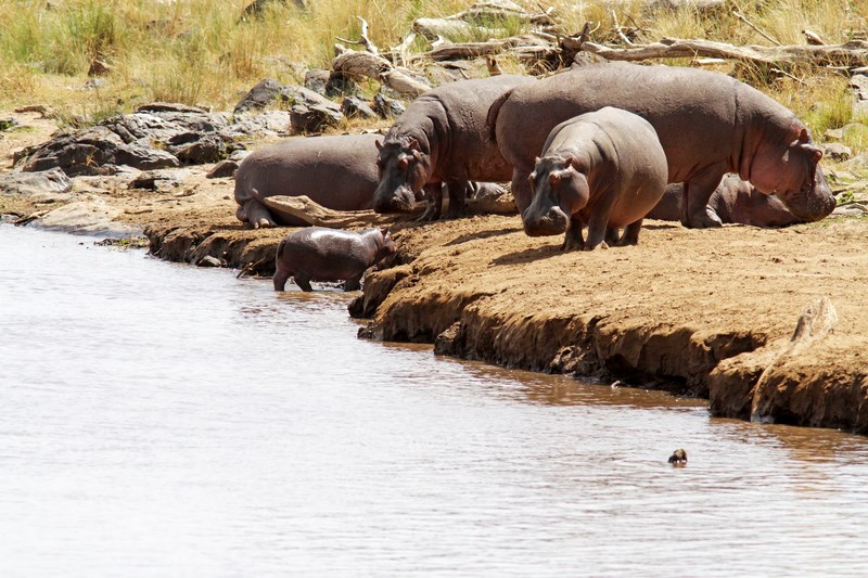 34143592 - hippos (hippopotamus amphibius) on the masai mara national reserve safari in southwestern kenya.