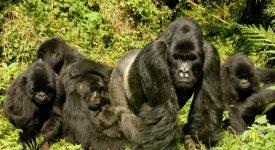 17. Gorile Uganda