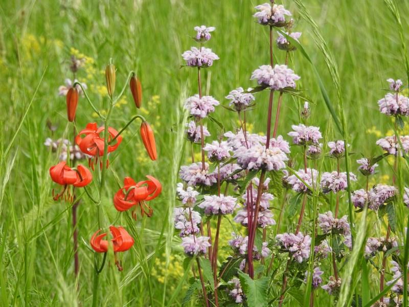 33-flori-salbatice