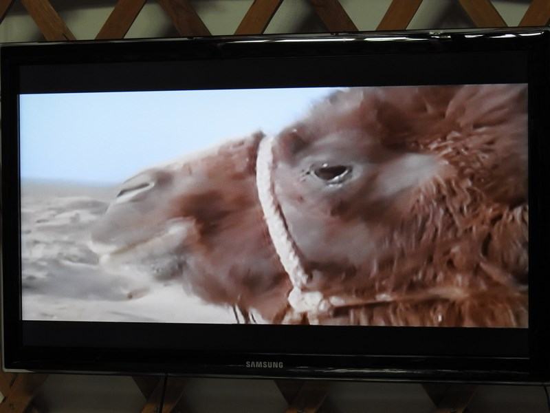 43-weeping-camel