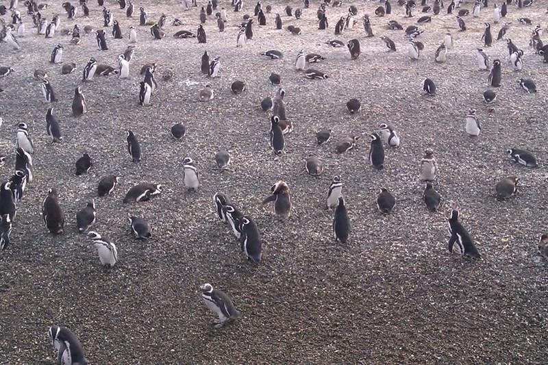 02-pinguini-pe-canalul-beagle