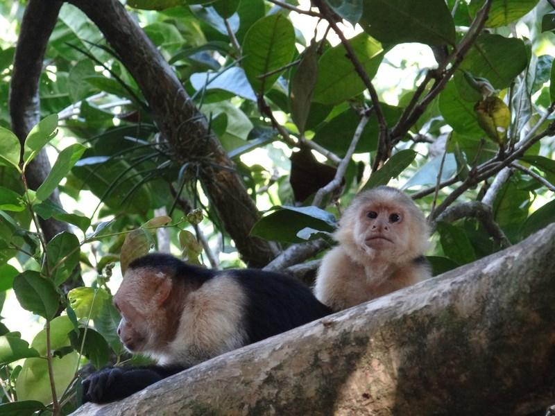 07-maimuta-capucin