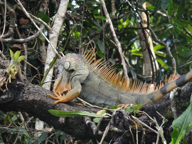 10-iguana