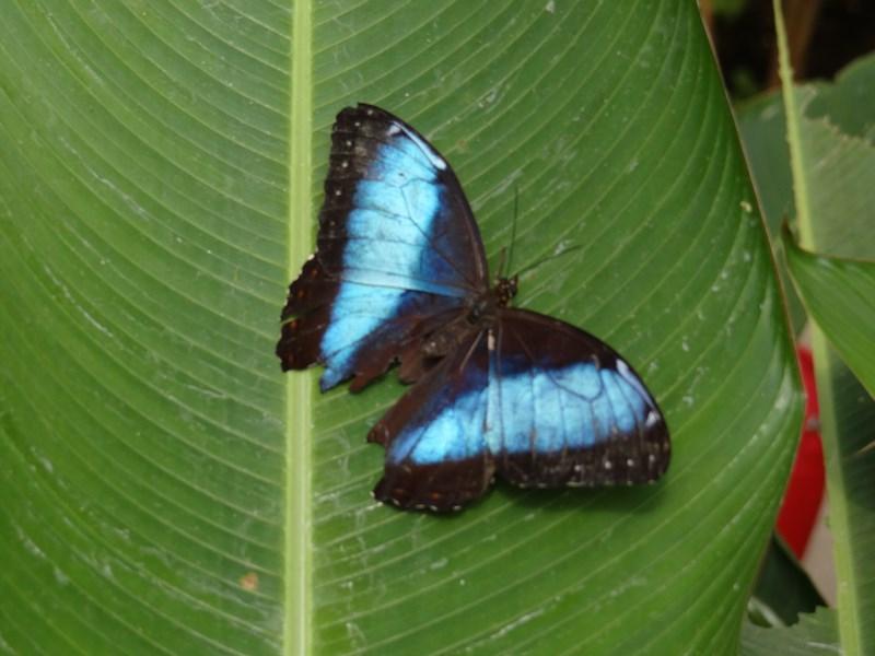 20-fluture-costa-rica
