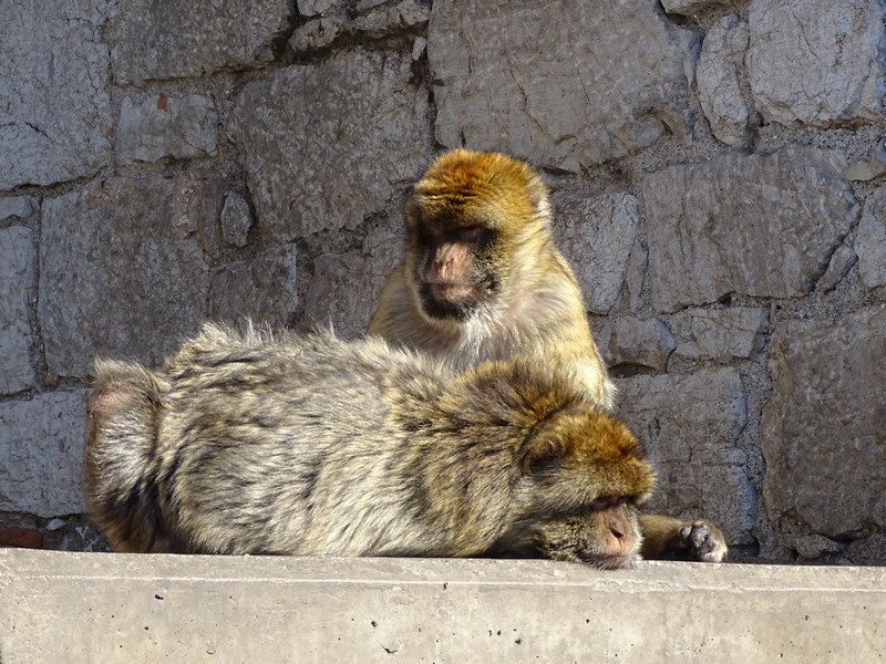 23-maimuta-facand-masaj